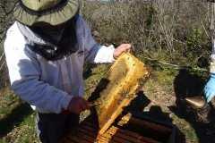 Cadre de miel en sortie d'hivernage