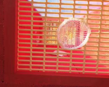 Piège frelon asiatique RedTrap