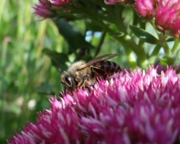 Jeune abeille sur Sédum remarquable