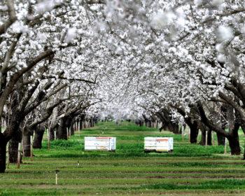 Pollinisation des amandiers en Californie