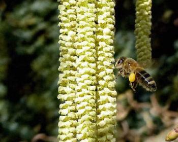 Abeille butinant des fleurs de noisetiers